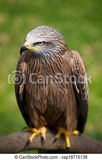 Hawk sitting on a stump. - csp18715138