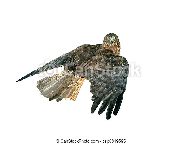 Hawk - csp0819595