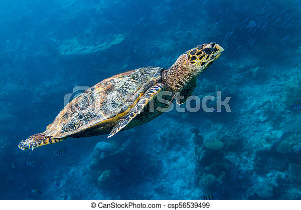 hawksbill sea turtle coral reef background - csp56539499