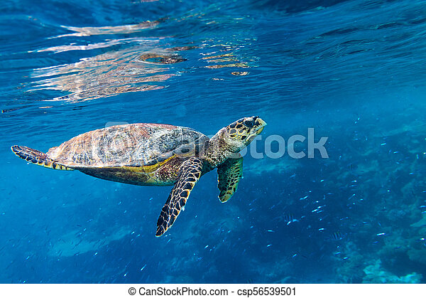 hawksbill sea turtle coral reef background - csp56539501