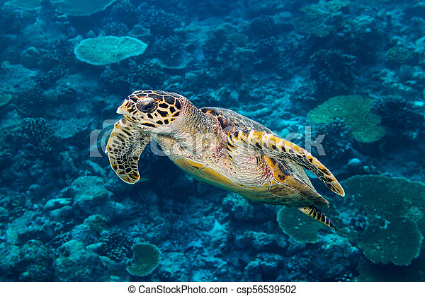 hawksbill sea turtle coral reef background - csp56539502
