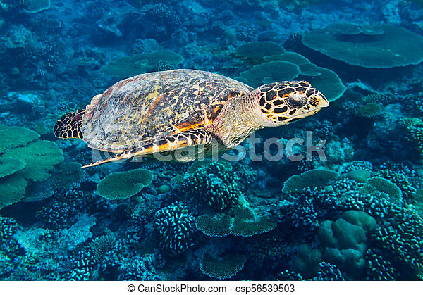 hawksbill sea turtle coral reef background - csp56539503