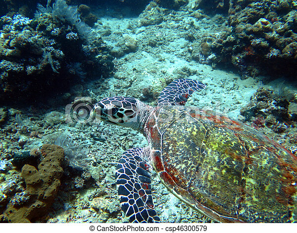 Hawksbill sea turtle current on coral reef island, Bali - csp46300579