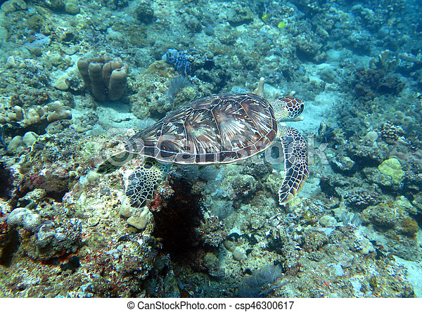 Hawksbill sea turtle current on coral reef island, Bali - csp46300617