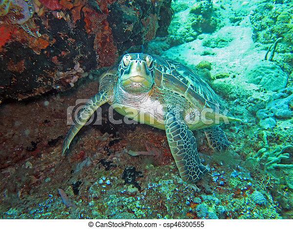 Hawksbill sea turtle current on coral reef island, Bali - csp46300555
