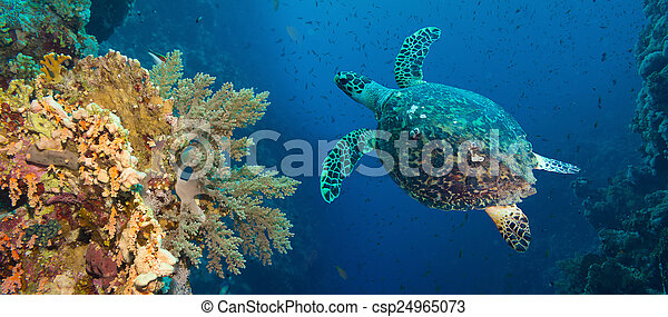 Hawksbill sea turtle (Eretmochelys imbricata) - csp24965073