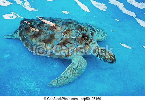 Hawksbill sea turtle Eretmochelys imbricata is critically endangered sea turtle - csp50125160