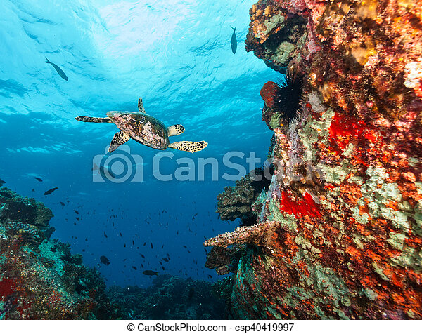 Hawksbill Sea Turtle flowing in coral reef - csp40419997