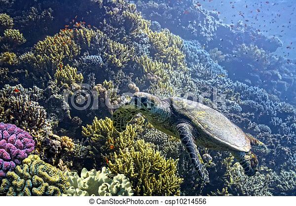 Hawksbill Sea Turtle glides over pristine coral reef - csp10214556