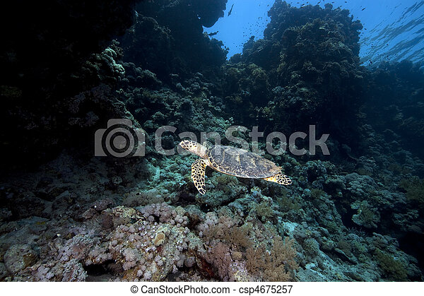 hawksbill turtle and coral reef - csp4675257