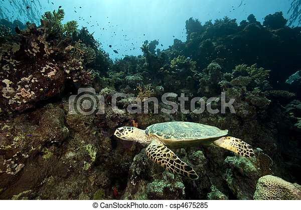 hawksbill turtle and coral reef - csp4675285