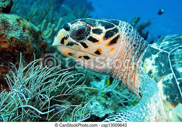 Hawksbill Turtle (Eretmochelys Imbricata) Close-up, Cozumel, Mexico - csp13009643