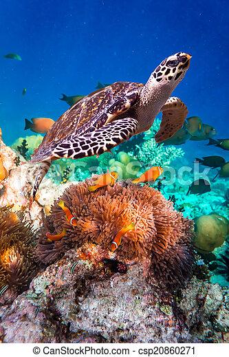 Hawksbill Turtle - Eretmochelys imbricata - csp20860271