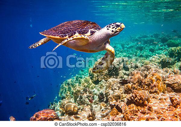Hawksbill Turtle - Eretmochelys imbricata - csp32036816