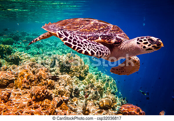 Hawksbill Turtle - Eretmochelys imbricata - csp32036817