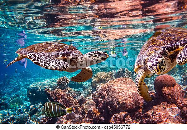 Hawksbill Turtle - Eretmochelys imbricata - csp45056772