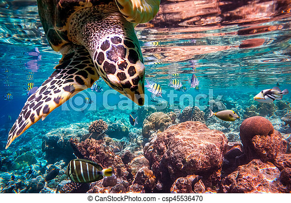Hawksbill Turtle - Eretmochelys imbricata - csp45536470
