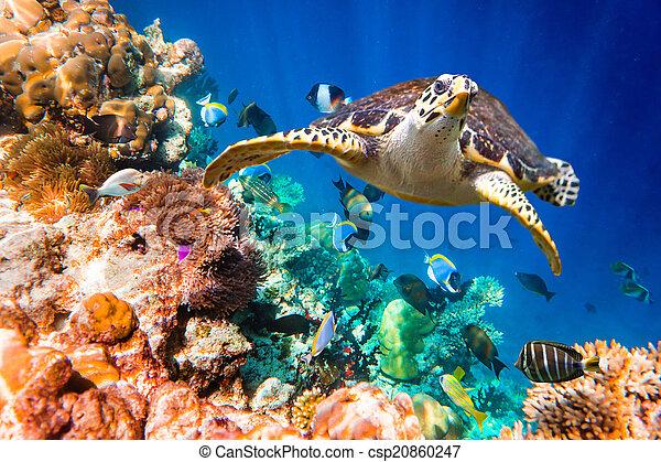 Hawksbill Turtle - Eretmochelys imbricata - csp20860247