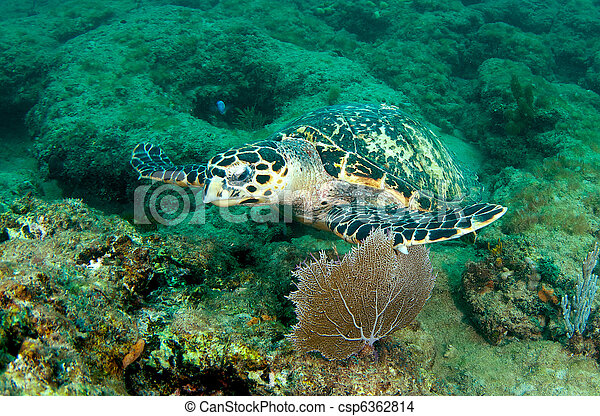 Hawksbill turtle on a reef ledge. - csp6362814