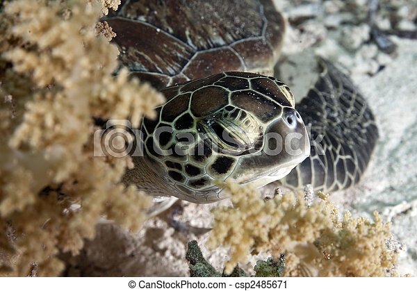 hawksbill turtle - csp2485671