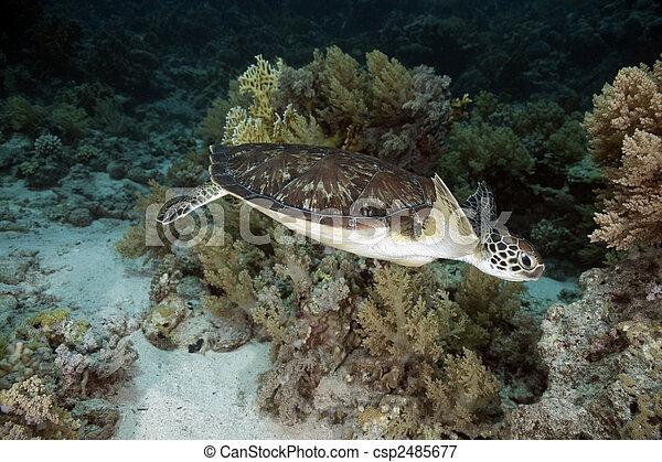 hawksbill turtle - csp2485677
