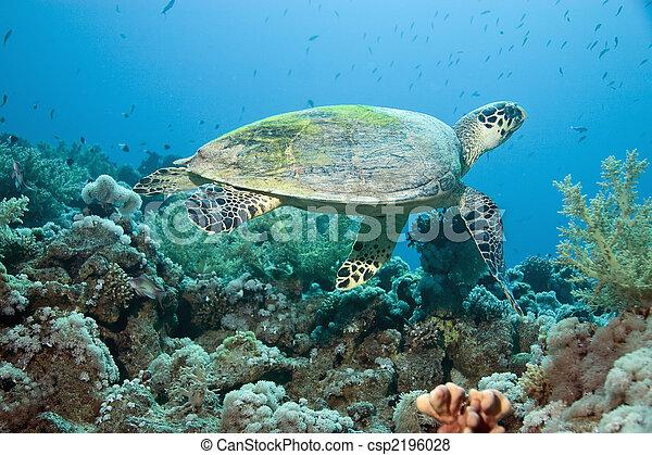 hawksbill turtle - csp2196028