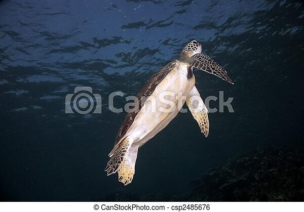 hawksbill turtle - csp2485676