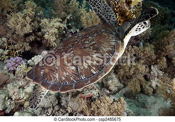 hawksbill turtle - csp2485675