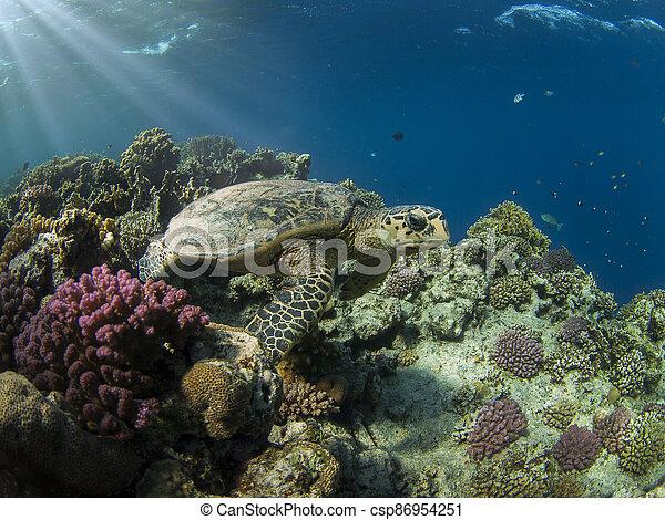 Hawksbill turtle - csp86954251