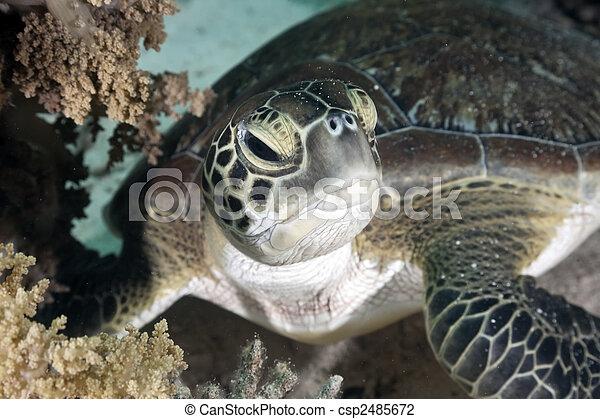 hawksbill turtle - csp2485672