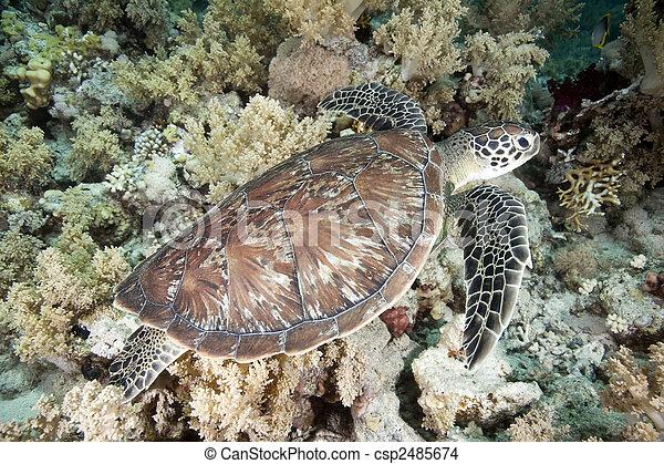 hawksbill turtle - csp2485674