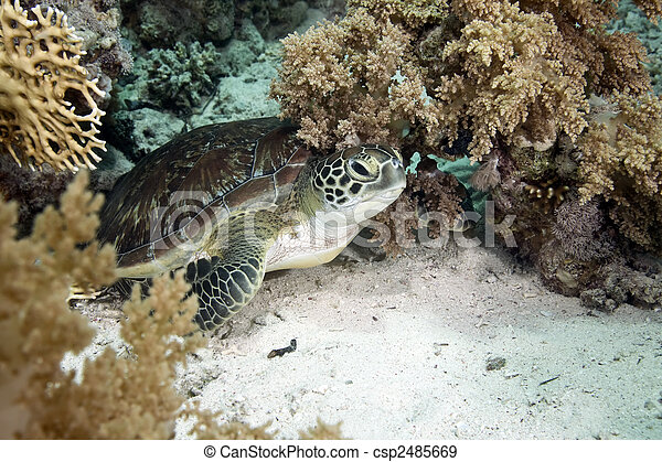 hawksbill turtle - csp2485669