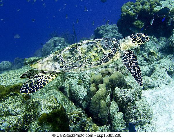 hawksbill turtle - csp15385200