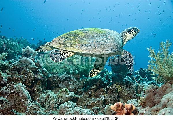 hawksbill turtle - csp2188430