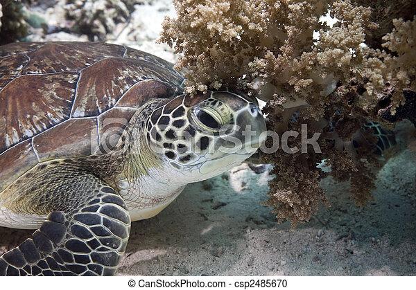 hawksbill turtle - csp2485670