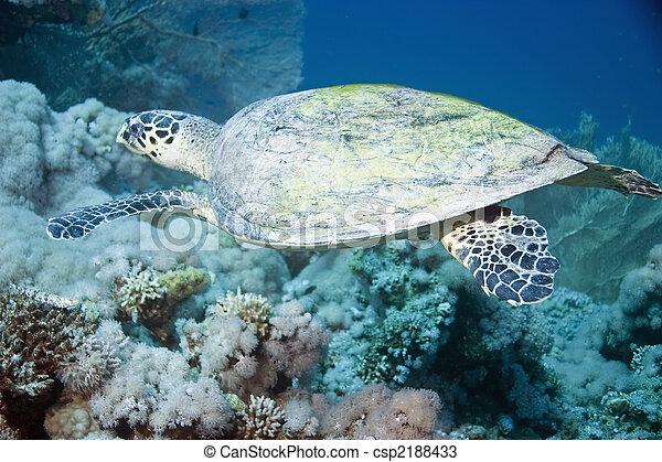 hawksbill turtle - csp2188433