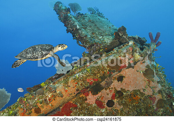 Hawksbill Turtle swimming over a coral encrusted shipwreck - csp24161875