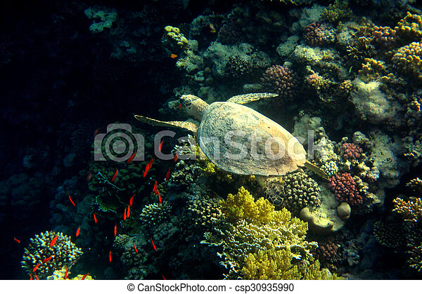 hawksbill turtle swims at coral - csp30935990