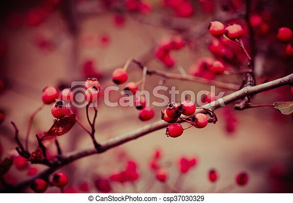 Hawthorn berries in nature - csp37030329