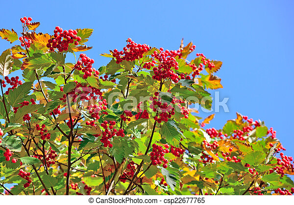 Hawthorn berries on blue sky background - csp22677765