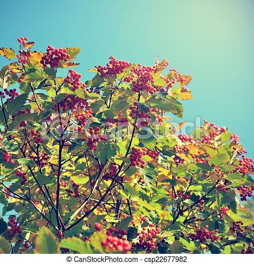 Hawthorn berries on sky background in retro style - csp22677982