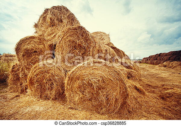 Hay bales on the field at summer  - csp36828885