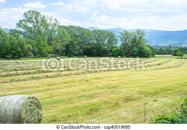 Haytime and rolls of hay in field - csp40519685