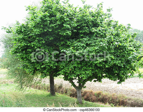 Hazel tree with green leaves in spring . Tuscany, Italy - csp46366100