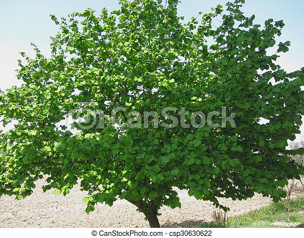 Hazel tree with green leaves - csp30630622
