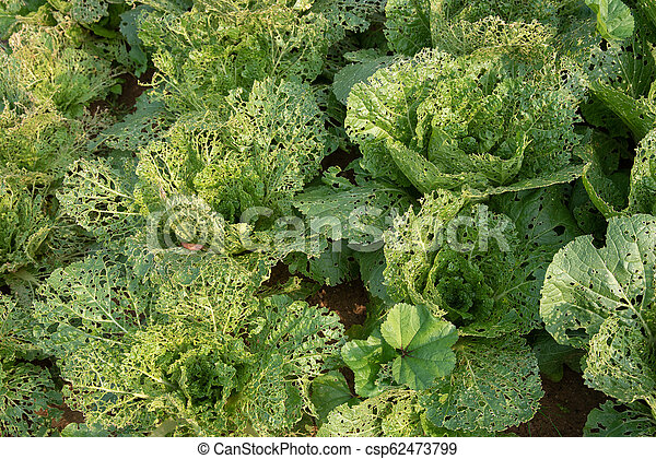 Head of Chinese cabbage in the ground damaged by insects. - csp62473799