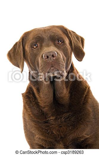 head of chocolate labrador dog - csp3189263