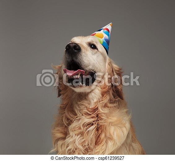 Head Of Happy Birthday Golden Retriver With Tongue Exposed Head