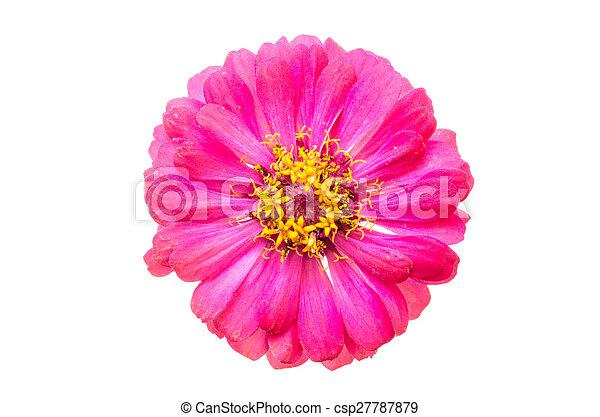 head of zinnia flower - csp27787879