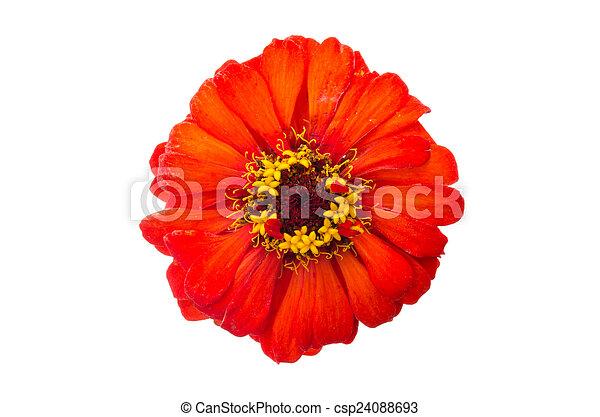 head of zinnia flower - csp24088693